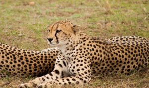 Interesting Facts about Cheetah