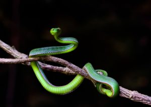 Interesting Facts about flying snakes