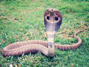 Interesting Facts about King Cobra