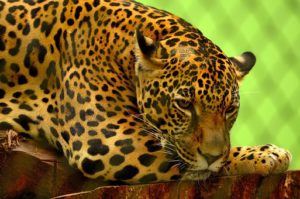 Interesting Facts about Jaguar
