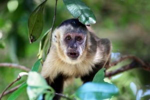 Interesting facts about Capuchin Monkey