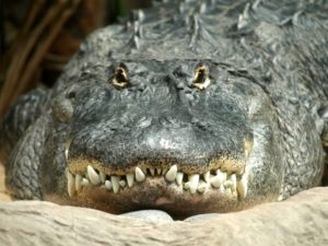 Interesting facts about alligators