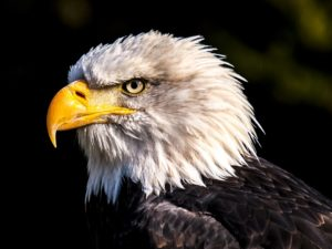 Interesting facts about Eagles