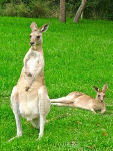 Interesting facts about Kangaroos