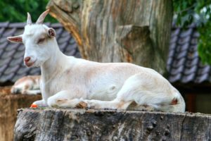 Interesting facts about Goats