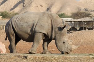 Interesting facts about Rhinoceros