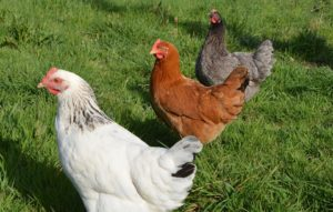 Interesting facts about Hen