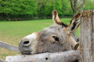 Interesting facts about Donkey