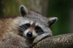 Interesting facts about raccoons