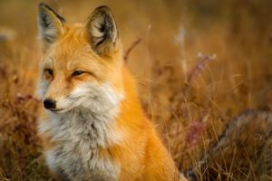 Interesting facts about Fox