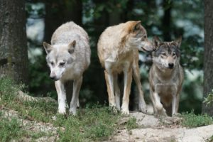 Interesting facts about Wolf