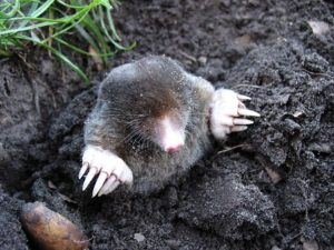 Mole Facts