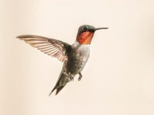 Humming Bird Facts