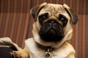 best dog breeds to own